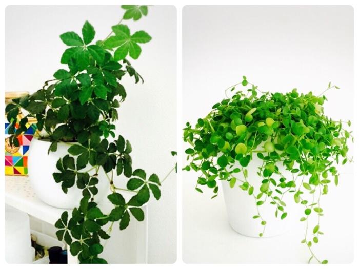 忙しいママでも!ズボラさんでも!育てやすく長持ちする観葉植物を楽しもう♪の画像2