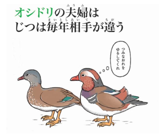 夫婦円満は動物たちも難しい?「オシドリ夫婦」の意外な真実にビックリ…!の画像3
